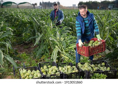 Focused man engaged in artichokes growing, carrying crates with freshly harvested vegetables on farm plantation..