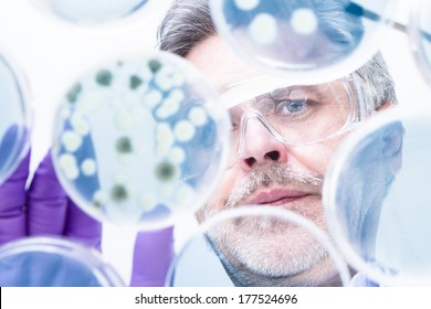 Focused senior life science professional grafting bacteria in the petri dishes.  Lens focus on the researchers face.