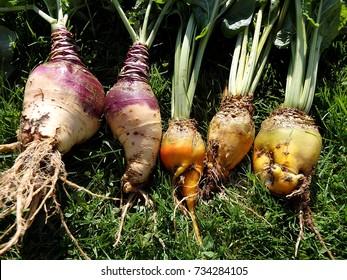 Fodder beet - crop harvest,(Beta vulgaris 'Mangelwurzel'),