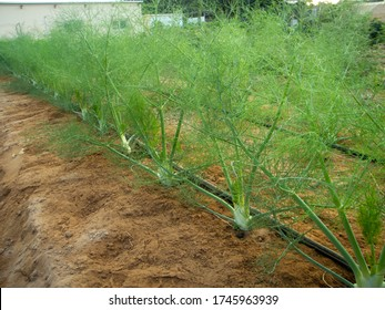 Foeniculum vulgare 'Perfection' is an improved Zefa Fino-type fennel selected for larger, rounder bulbs with good vigor and bolt resistance.