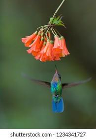 Foeragerende Irazukolibrie, Fiery-throated Hummingbird foraging