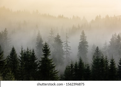 Fog above pine forests. Misty morning view in wet mountain area. Detail of dense pine forest in morning mist.