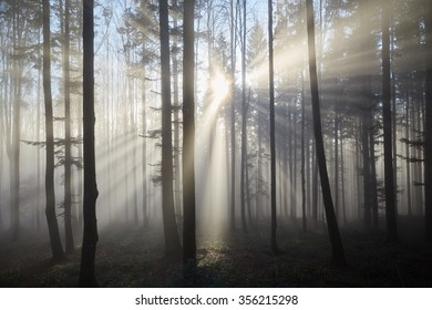 Fog between the trees of a forest and the sun shining through it in rays.