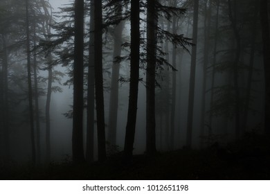 Fog in the forest. Dark forest. Trees silhouette. Rain forest. Rain season