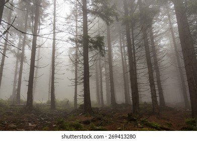 Fog in the haunted green forest in summer