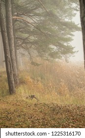 Fog or mist in pine tree forest near the river lielupe un Jurmala, Latvia