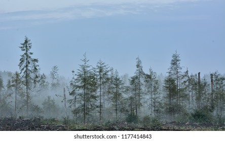 Fog on the forest felling. A little fir grew on the site of felling.