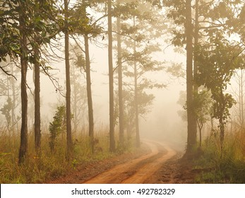 Fog in pine forest