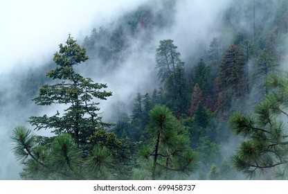 Fog rises up through the forest trees of the Mogollon Rim on a rainy afternoon in Eastern Arizona.