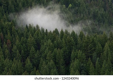 Fog in thick forest of evergreen pine trees on Mount Timpanogos along Utah Wasatch Front Wasatch Mountains on a foggy summer morning