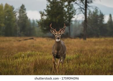 fogging afternoon, a buck mule deer on the wilderness, Glacier National Park