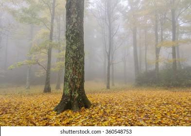 Foggy autumn forest scene in the Blue Ridge Mountains of North Carolina