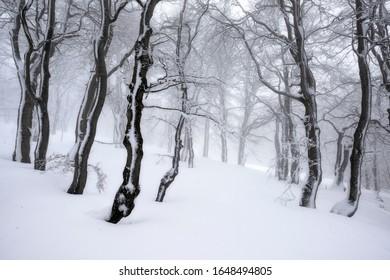 foggy beech forrest in winter