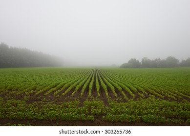 Foggy buckwheat field in Hokkaido Japan