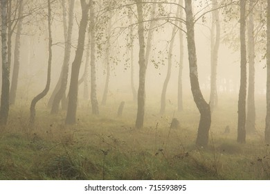 foggy dawn in a birch grove