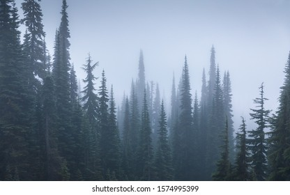 Foggy environment of pine forest in cold weather of winter inside Mount Rainier National Park, Seattle, USA.