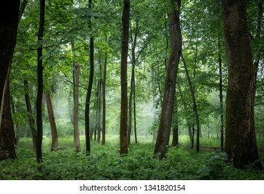 Foggy, evening, misty forest with tall trees
