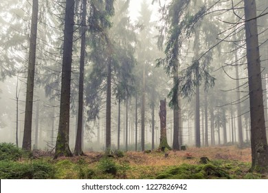 foggy evergreen forest at morning time in the autumn