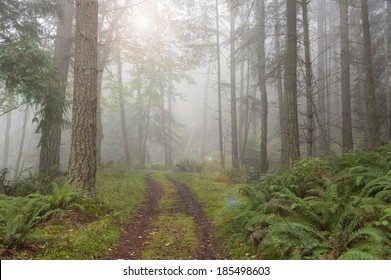 Foggy Forest. An atmospheric look at a Pacific Northwest forest during a foggy morning. Firs trees and ferns are the predominate flora in the area. The fog adds a spooky feel to the landscape.