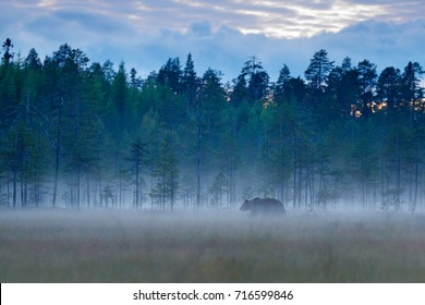 Foggy forest with brown bear hidden in the grass. Beautiful brown bear walking around lake with autumn colours. Dangerous animal, nature forest and meadow habitat.