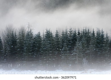 Foggy Forest. Fog envelops a stand of fir trees in the North Cascade mountains along the Mt. Baker Highway in western Washington state.