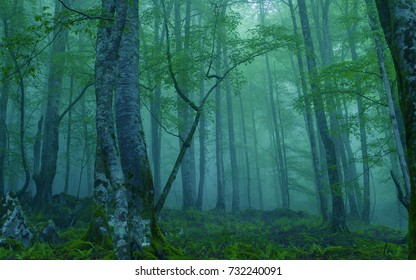 Foggy forest, mist in the woods
