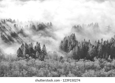 A foggy forest in Scandinavia in monochrome