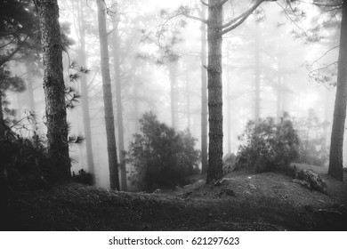 Foggy forest in tenerife