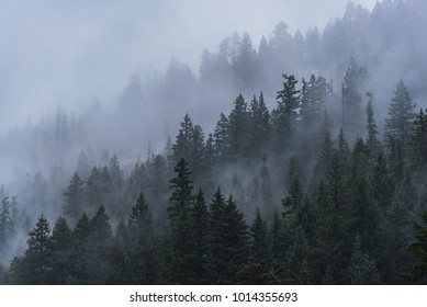Foggy forest trees of Oregon