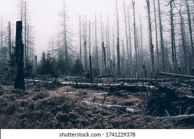 Foggy jungle with conifers, Harz