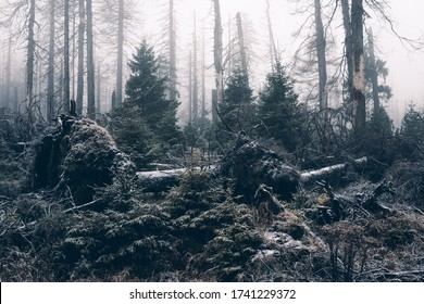 Foggy jungle with conifers, harzmountains, Germany