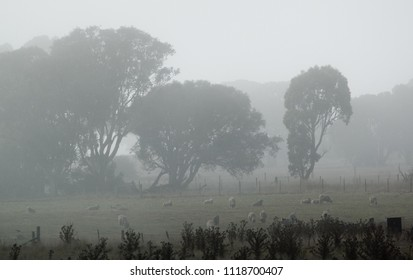 Foggy landscape in New South Wales Australia. Old farmshed and gum trees.