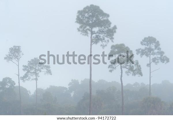 Foggy longleaf pines (Pinus palustris) at the Pinelands Reserve in Nokomis, Florida