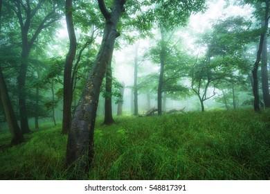 Foggy misty beech forest in springtime
