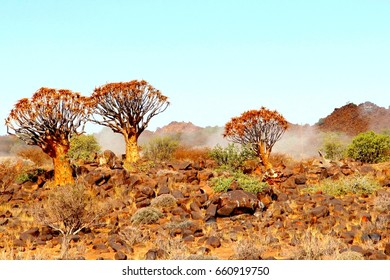Foggy and misty Quiver tree forest (Kokerboom, Aloe Barberae) around Fish River Canyon. Kalahari desert, NAMIBIA, AFRICA