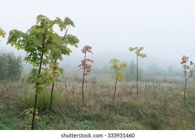 Foggy morning landscape with small maples