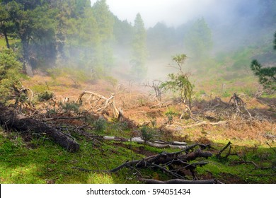 Foggy morning in a pine forest, Gran Canaria, Spain