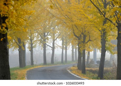 A foggy morning scene with yellow trees