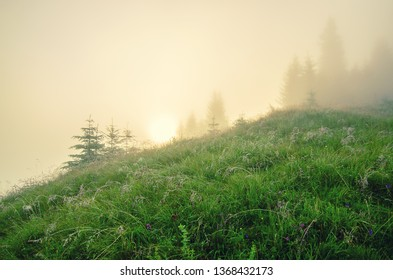 Foggy morning summer fairy landscape with fir trees, sun shining and copy space