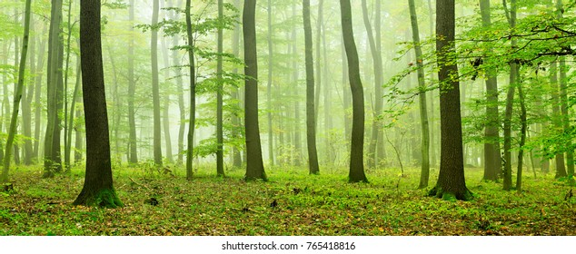 Foggy Natural Forest of Oak and Beech Trees