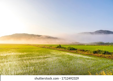 Foggy paddy rice fields in the morning   after planting near Goseong-gun, Korea