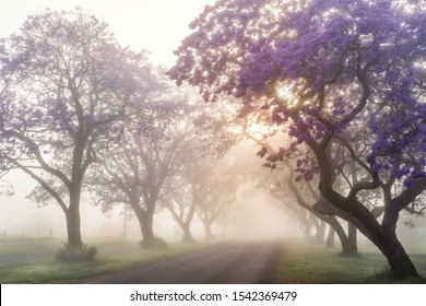Foggy sunrise with full bloom jacaranda trees in Grafton during Jacaranda festival, Australia