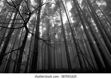 Foggy trees in a forest photographed looking up.
