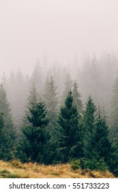 Foggy weather and pine trees