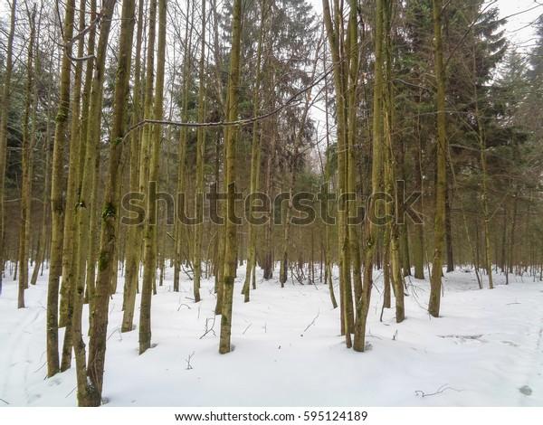 Foggy winter forest. Eastern Europe