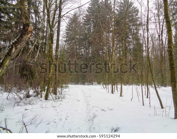 Foggy winter forest. Eastern Europe
