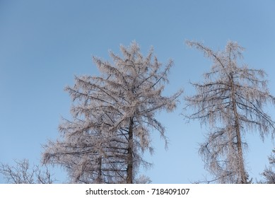foggy winter landscape - frosty trees in snowy forest with mist
