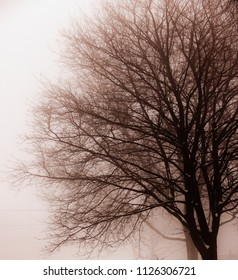 Foggy winter scene of single leafless tree in fog
