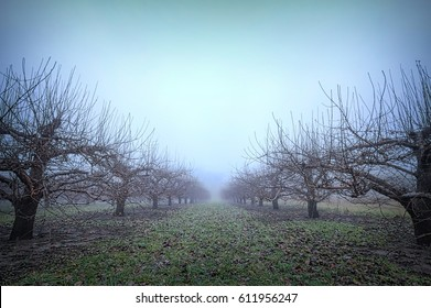 Foggy winter sky over apple orchard in Ontario, Canada