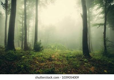 foggy woods, green landscape